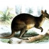 lithograph of a wallaby
