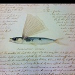Diary: Gouger diary - flying fish